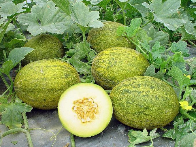 Этот ароматный и вкусный плод можно вырастить на участке
