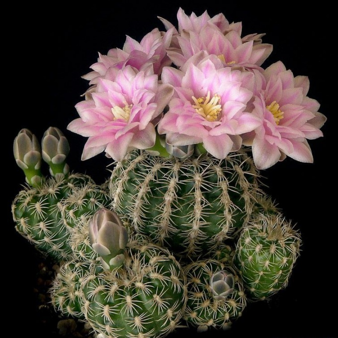 What kind of cactus Gymnocalycium?