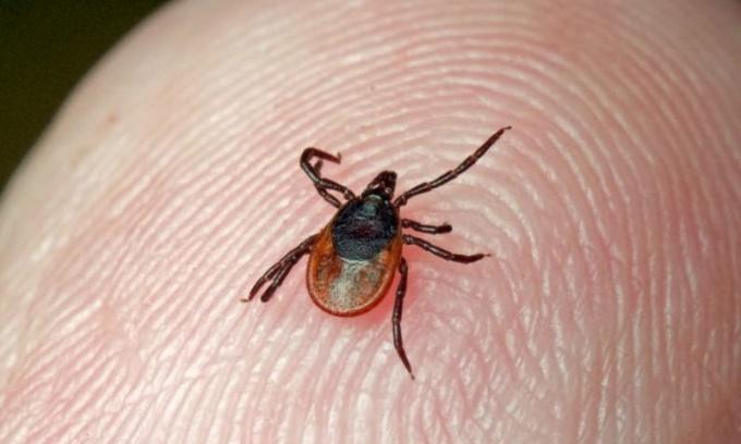 As bitten by a tick