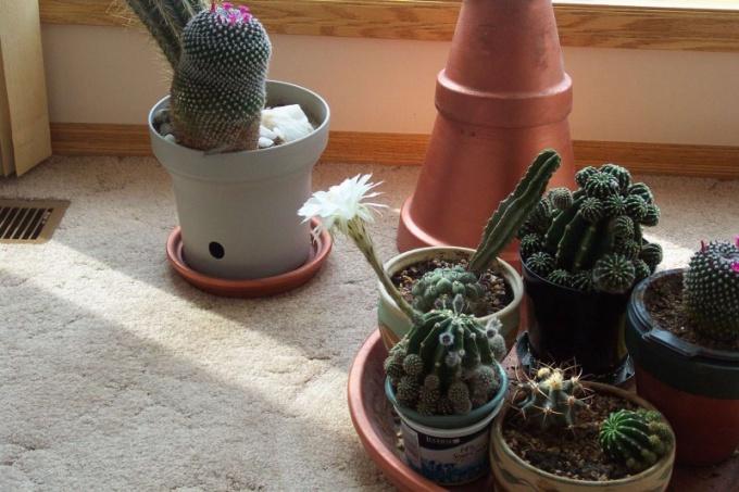 Усилие, вложенное в уход за кактусом, будет вознаграждено цветением растения