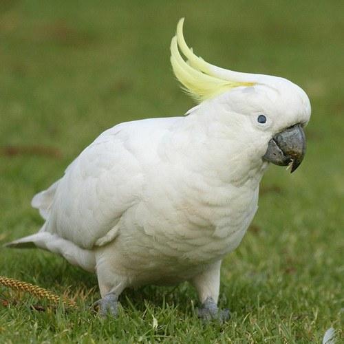 Что за птица - какаду?
