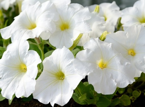 Петуния - лучшее украшение сада