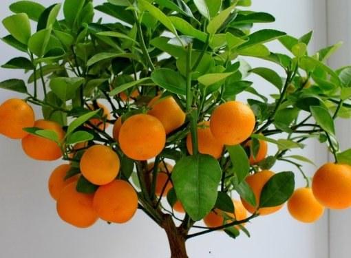Апельсиновое дерево можно вырастить в обычной городской квартире