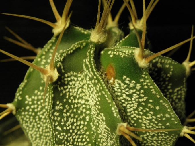 Заболевание кактуса