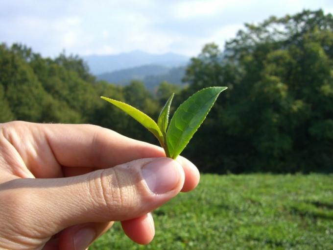 Чайные поля