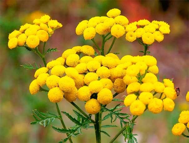Пижма - растение-репеллент