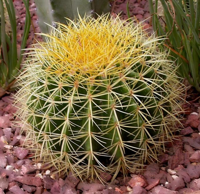 Почему колючки у кактуса