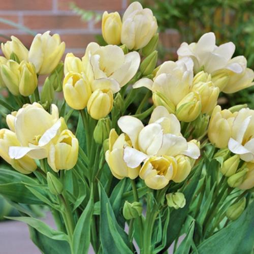 Многоцветковость тюльпанов благодаря подкормке