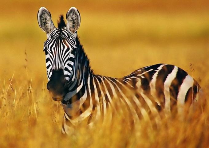 Зебра - исчезающий вид животных