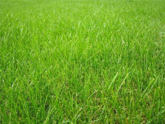How to sow grass Canada green