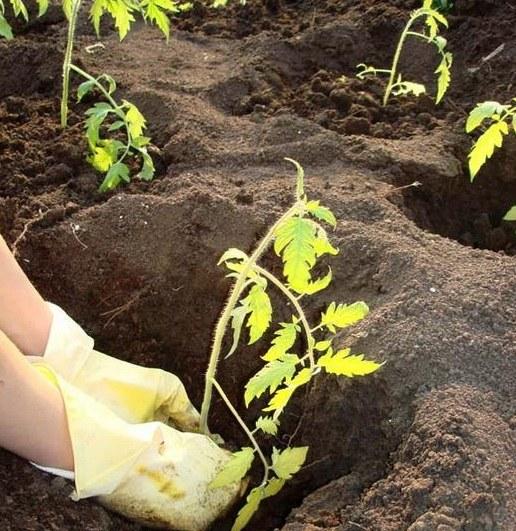 Высаживание помидор в грунт