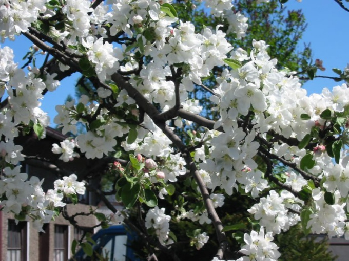 Как спиливать ветки у яблони