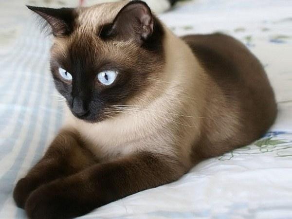 Как узнать, какой срок беременности у сиамской кошки