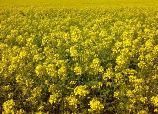 Горчица - хороший сидерат Почвы и удобрения 69