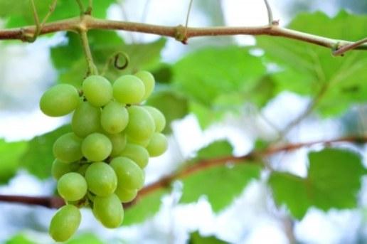 Как растет виноград