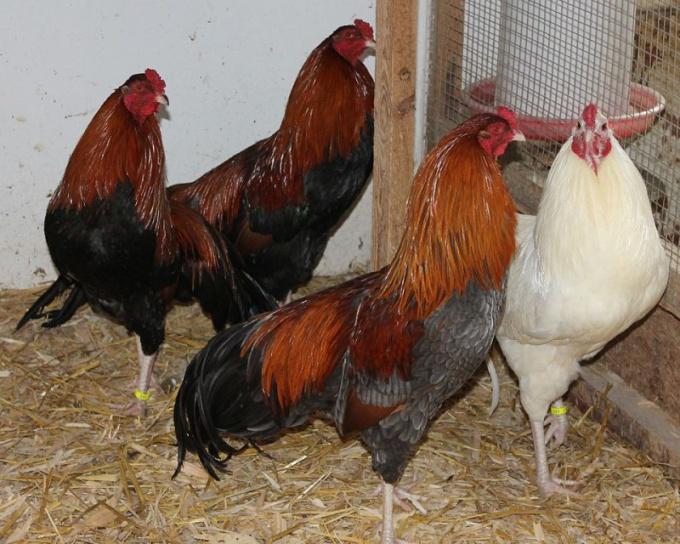 Как ощипать курицу