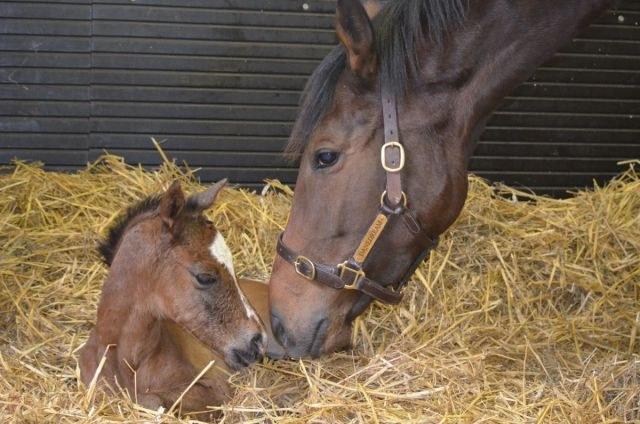 Как проходят роды у лошади