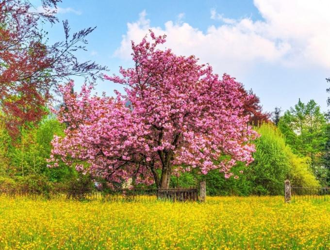 Цветущие деревья во сне - добрый знак
