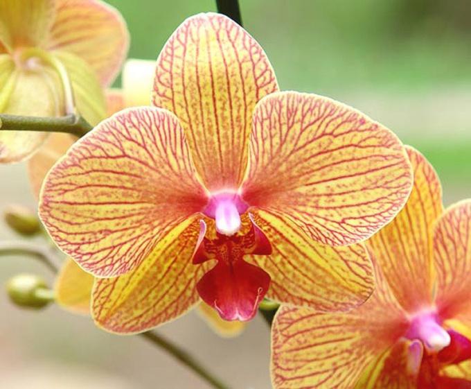 Когда цветет орхидея