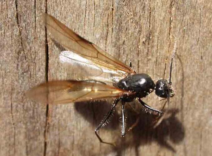 Как избавиться от летучих муравьев