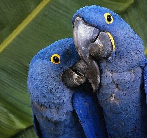 Почему попугаи умеют говорить