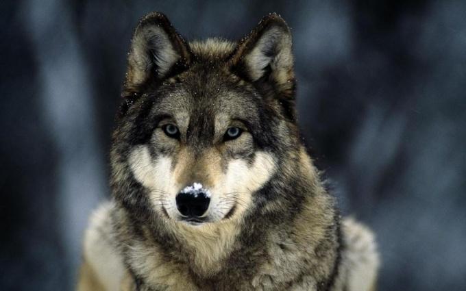 """Что значит выражение """"матерый волк"""""""