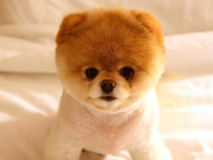 Какая собака похожа на медвежонка