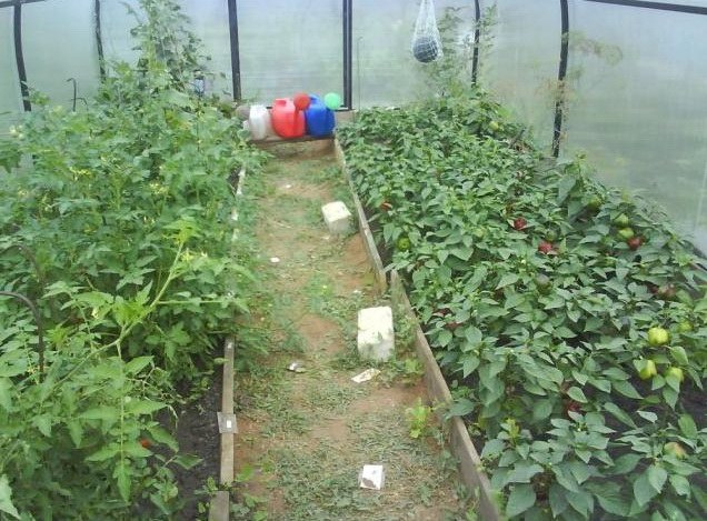 Pepper cultivation in greenhouse