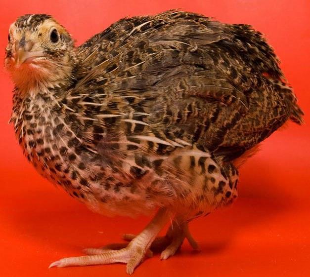 Перепелов можно выращивать для получения яиц и мяса