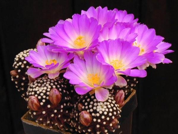 Кактусы - уход и пересадка