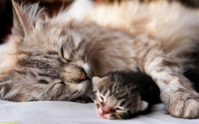 Как определить беременность кошки
