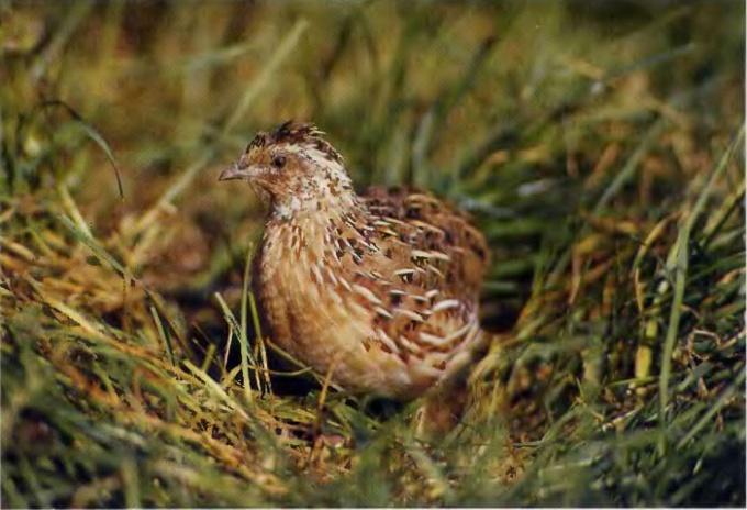 How to distinguish chickens quail