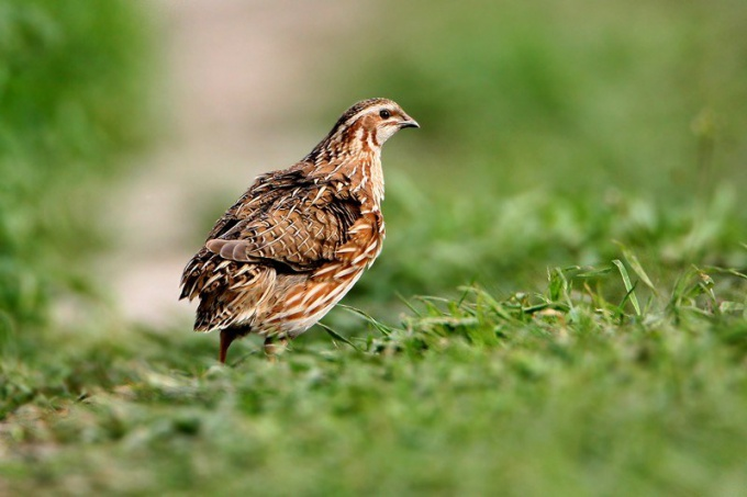 Quail desirable to feed forage