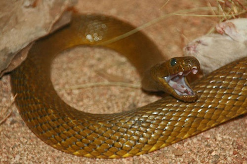 Топ-5 самых ядовитых змей планеты