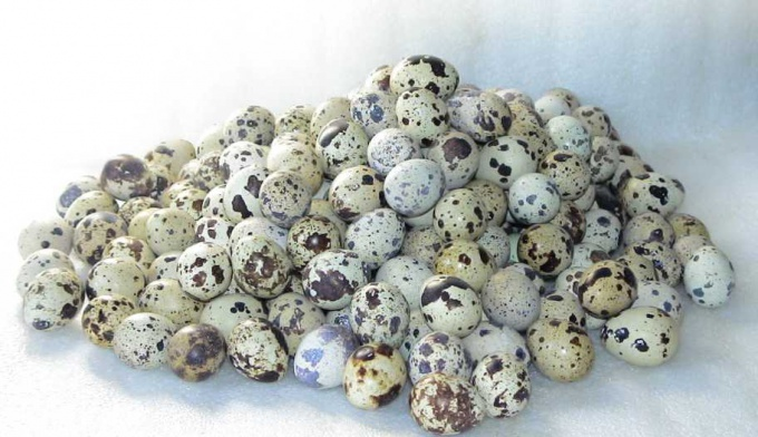 Quail eggs how many a day to eat quail and chicken eggs