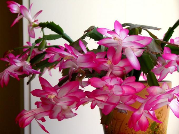 How to transplant flower Decembrist