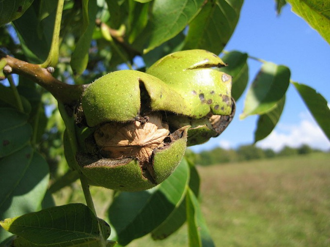 How to grow walnut