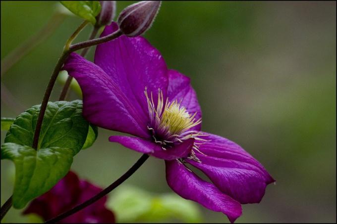 Клематис - светолюбивое растение