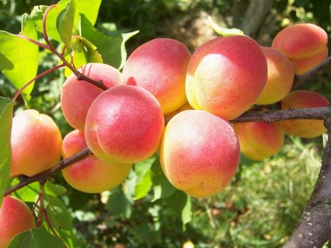 Как пересаживать абрикос