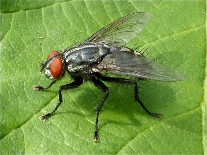 К лапкам мухи прилипает мусор, пыль и бактерии