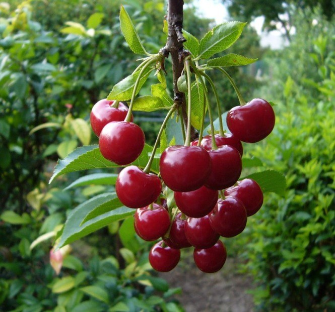 How to transplant cherry