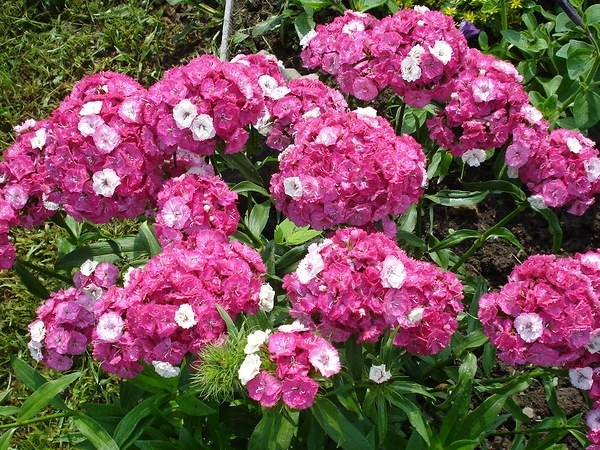 Правильная пересадка и уход обеспечит обильное цветение