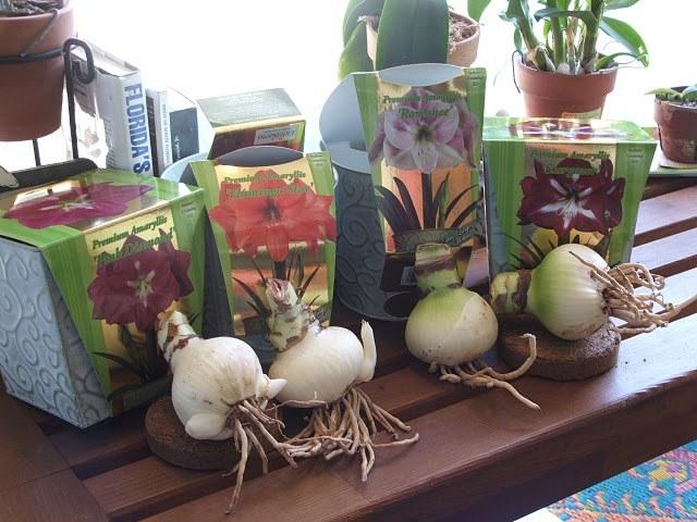 Готовые к посадке луковицы