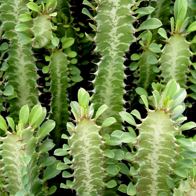 How to transplant Euphorbia