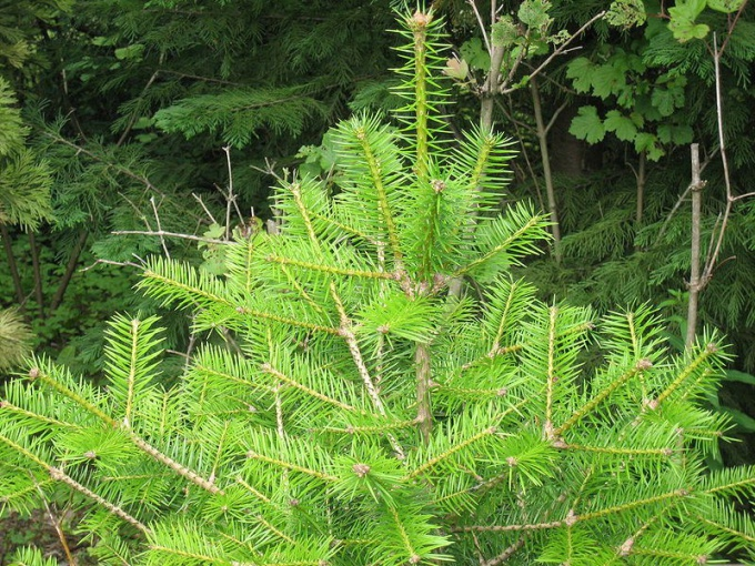 How to transplant a fir