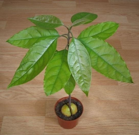 How to transplant avocado