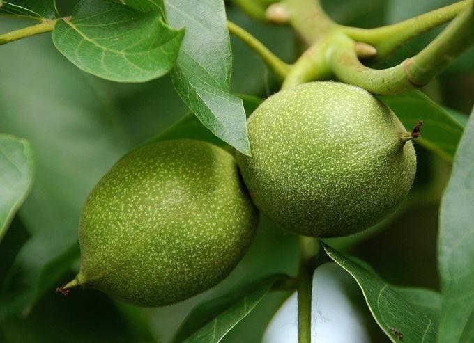 Как приготовить настойку из зеленого грецкого ореха