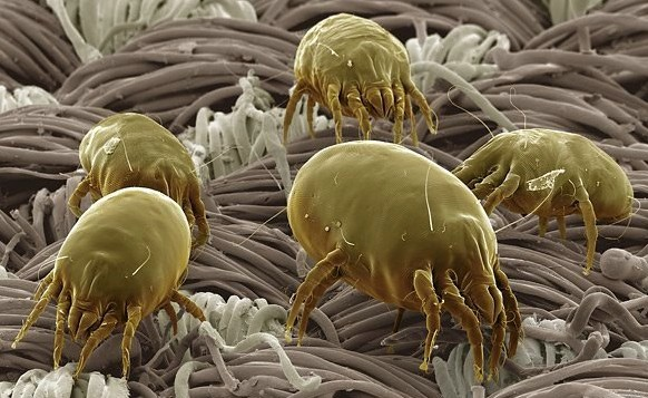 Mites-saprophytes: who are they