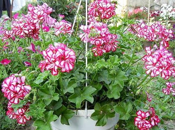 Blooming pelargonium
