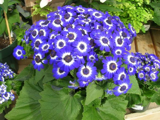 Цинерария - многолетнее травянистое растение